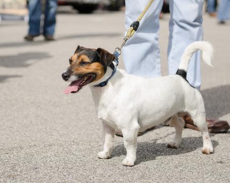 jack russell terrier: jack russell terrier on a lead