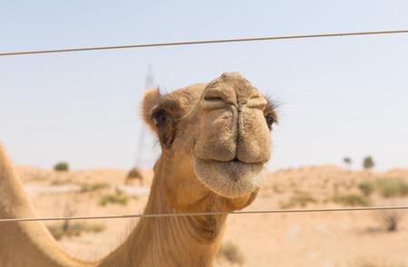 ethnics: wild camel in the hot dry middle eastern desert uae Stock Photo