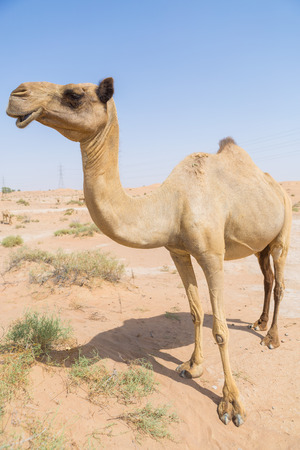 wild camel in the hot dry middle eastern desert uae Stock Photo