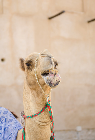 arab beast: Arabic Camel keeping cool in the shade chewing food Stock Photo