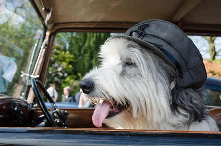 fourties: old english sheep dog wearing a world war cap sitting in a vintage car