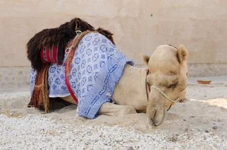 egyptian culture: Arabic Camel keeping cool in the shade chewing food Stock Photo