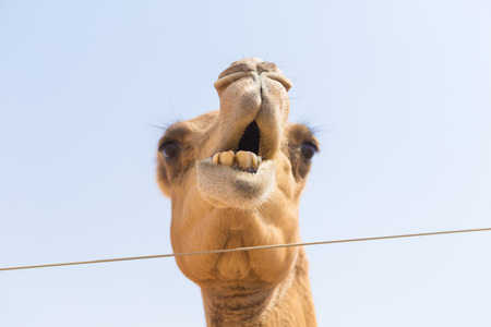 ethnics: wild camel chewing plants in the hot dry middle eastern desert uae with blue sky