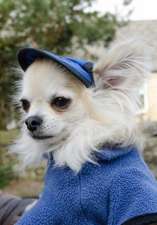 k9: Chihuahua dressed in a blue fleece uniform