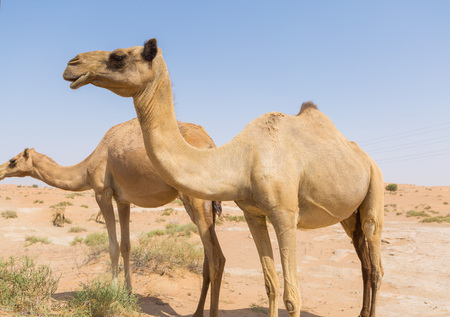 ethnics: wild camels in the hot dry middle eastern desert uae with blue sky