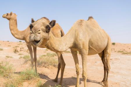 desierto: camellos salvajes en el seco uae medio oriental caliente del desierto con el cielo azul