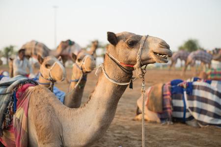 saddle camel: Dubai camel racing club camels waiting to race at sunset.