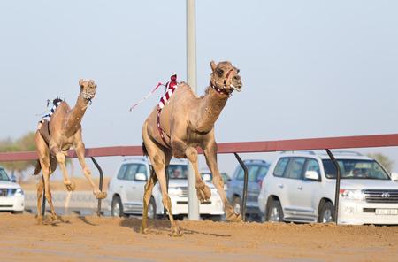 camello: Dubai carreras de camellos camellos Racing club con jockeys de radio