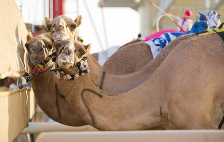 saddle camel: Dubai camel racing club camels at the starting line waiting to race Stock Photo