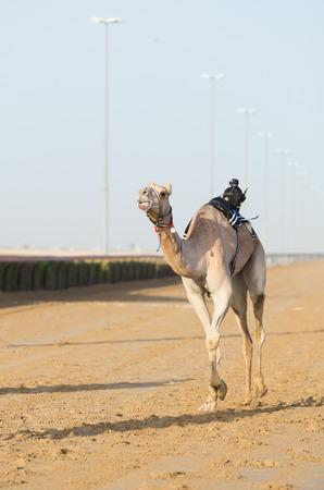 saddle camel: Dubai camel racing club camel racing with radio jockey