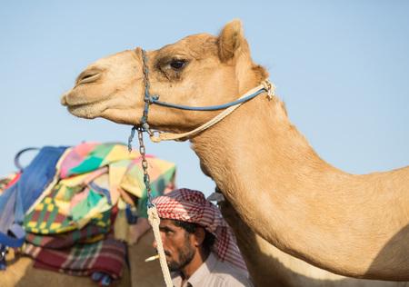 saddle camel: Dubai camel racing club camels waiting to race