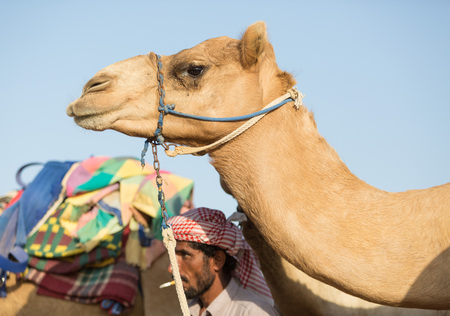 camello: Dubai camellos club de carreras de camellos a la espera de la raza