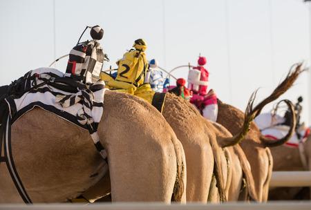 saddle camel: Dubai camel racing club camels with radio manless jockeys, waiting to race.
