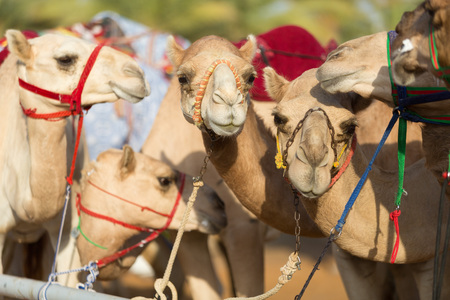 Dubai camel racing club camels waiting to race 版權商用圖片 - 49200429