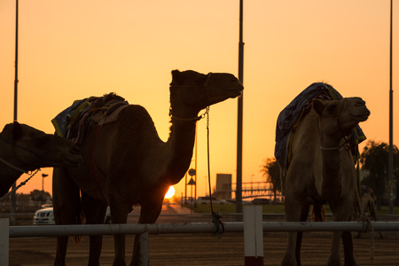 saddle camel: Dubai camel racing club sunset silhouettes of camels and people.