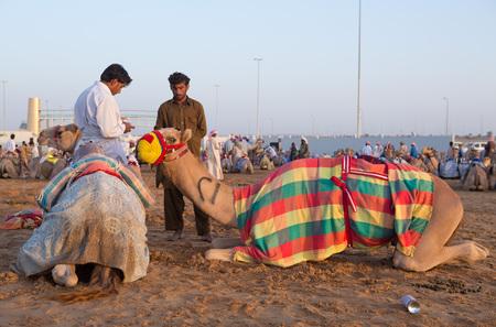 camello: Dubai camellos club de carreras de camellos esperando para correr al atardecer. Editorial