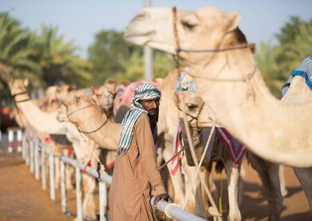 saddle camel: Dubai camel racing club camels waiting to race at sunset with keeper.