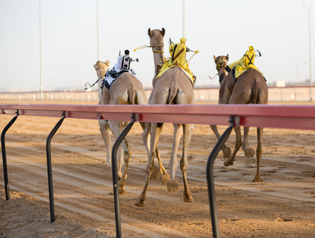 saddle camel: Dubai camel racing club camels racing with radio jockeys