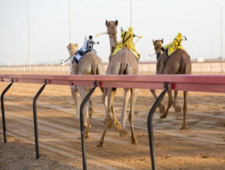jockey's: Dubai camel racing club camels racing with radio jockeys