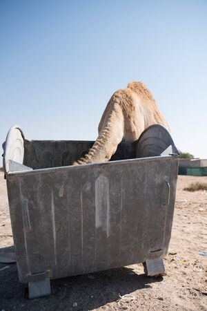 dumpster: wild camel eating out of a garbage dumpster Stock Photo