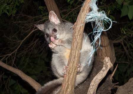 possum: Bush tailed possum eating fruit in a tree Stock Photo