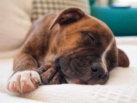 brindle: A brindle puppy pitbull sleeping Stock Photo