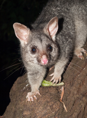 Bush tailed possum looking into camera Stock Photo