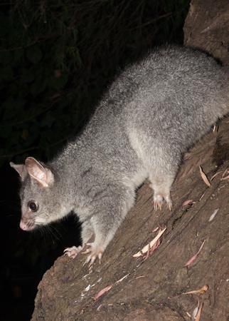possum: Bush tailed possum climbing down tree
