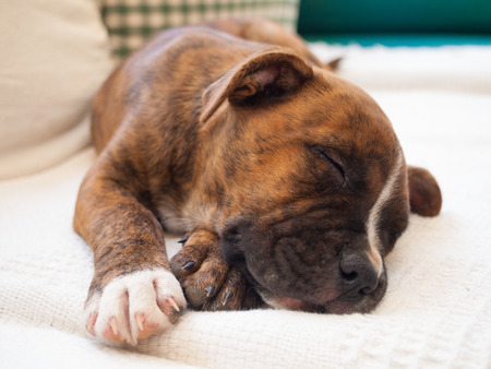 k9: A brindle puppy pitbull sleeping Stock Photo