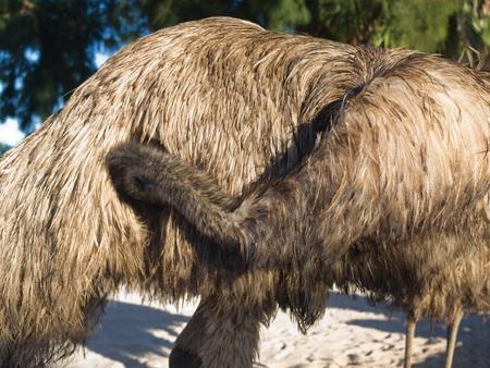 black feathered: Australia, Monkey Mia, 01042015, Australian emu cleaning itself Stock Photo