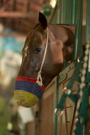 buckskin horse: Race horse with muzzle looking out of a stable