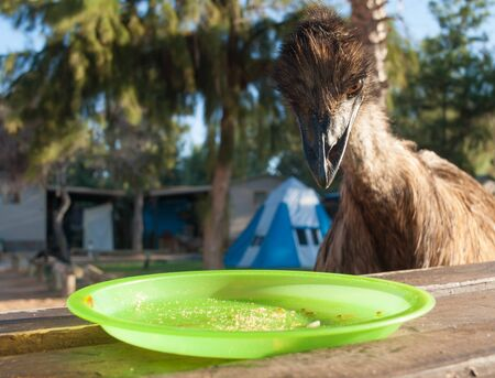 Australia, Monkey Mia, 01042015, Australian emu looking at an empty plate on a table