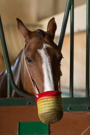 buckskin horse: Racehorse with muzzle looking out of the stable pen