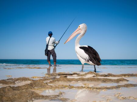 wing span: Australia, Yanchep Lagoon, 04182013, Australian pelican watching a fisherman and waiting for scraps, on an australian beach