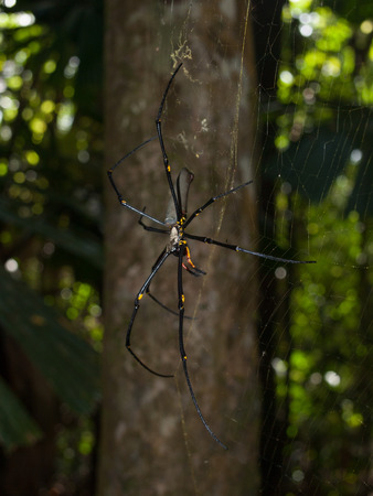 tribulation: Cape Tribulation, Queensland Australia, 06102013, Golden Orb spider arachnid , hanging in a web in a tropical forest, cape tribulation.