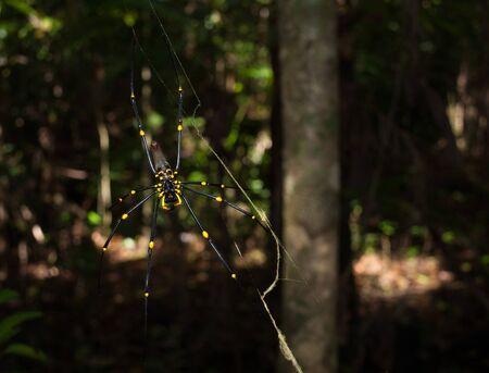 golden orb weaver: Cape Tribulation, Queensland Australia, Golden Orb spider arachnid , hanging in a web in a tropical forest, cape tribulation.