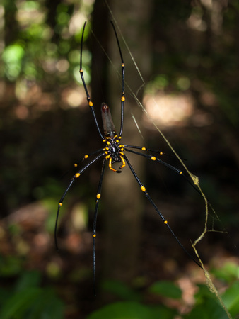 tribulation: Cape Tribulation, Queensland Australia, Golden Orb spider arachnid , hanging in a web in a tropical forest, cape tribulation.