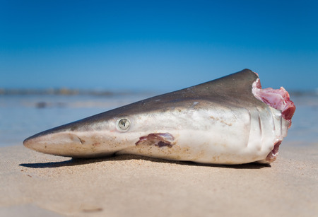 western australia: Western Australia, Australia, 03112014, Reef Shark head washed up on the beach with a blue sky background