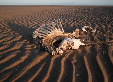 jawbone: Full sheep skeleton and skull washed up on a rippled sandy beach