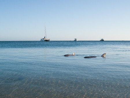 shark bay: Monkey Mia, Australia, 07022014, Wild dolphins playing around in the shallow waters at the beach Editorial