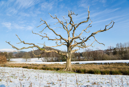 bark peeling from tree: An full view of the of a spooky english countryside tree with a clear blue sky background in winter.