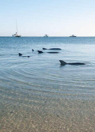 shark bay: Monkey Mia, Australia, 07022014, Wild dolphins playing around in the shallow waters at the beach Stock Photo