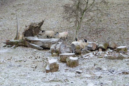 wintery: Sheep in a cold european icy wintery field huddled around a felled tree Stock Photo