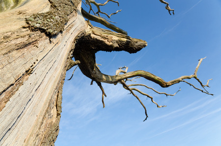 bark peeling from tree: An upward view of the naturally peeling bark of a spooky english countryside tree with a clear blue sky background. Stock Photo