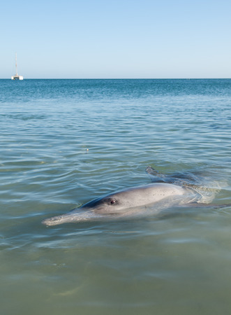 shark bay: Monkey Mia, Australia, 07022014, Wild dolphin playing around in the shallow waters at the beach