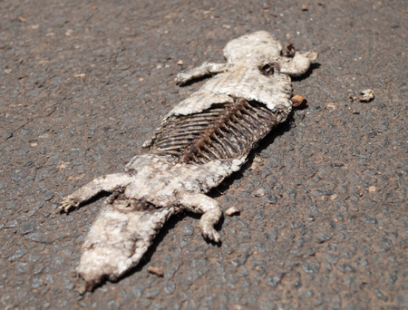 bobtail: Bobtail Skink squashed on a road exposing rib structure Stock Photo