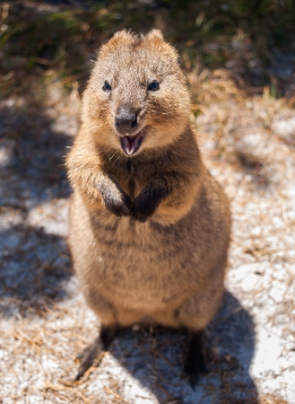 Australian Quokka on rottnest island looking  into the camera Stock Photo