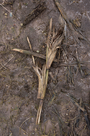 rotting: Dead rotting corn plants on and icy cold field. Harsh winter kills crops
