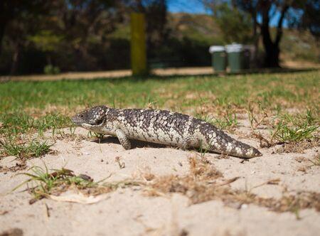 viviparous lizard: Bobtail Skink running around in the grass Stock Photo