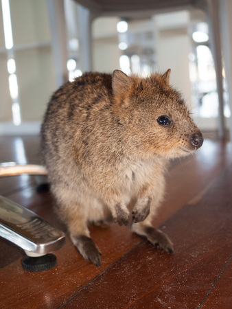 Australian Quokka on rottnest island looking for food in a cafe